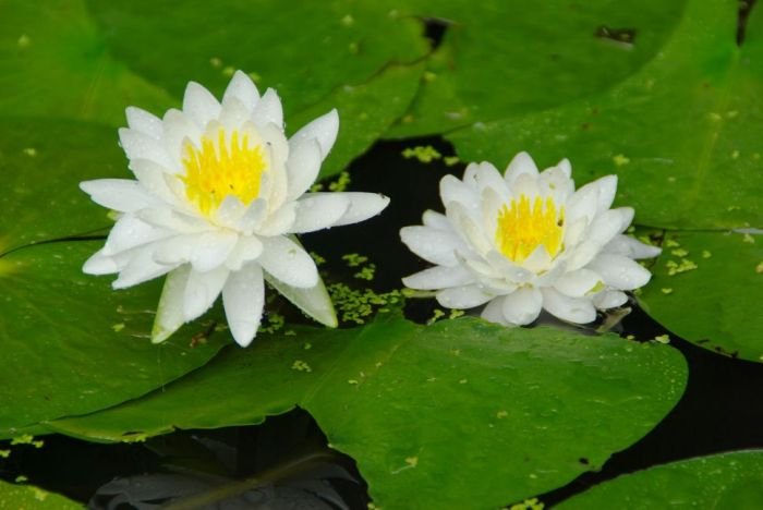 1745283_low lotus flowers