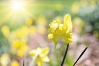 daffodil-1358940_640
